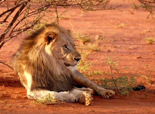 80% Andrew Rice - Lion, Madikwe